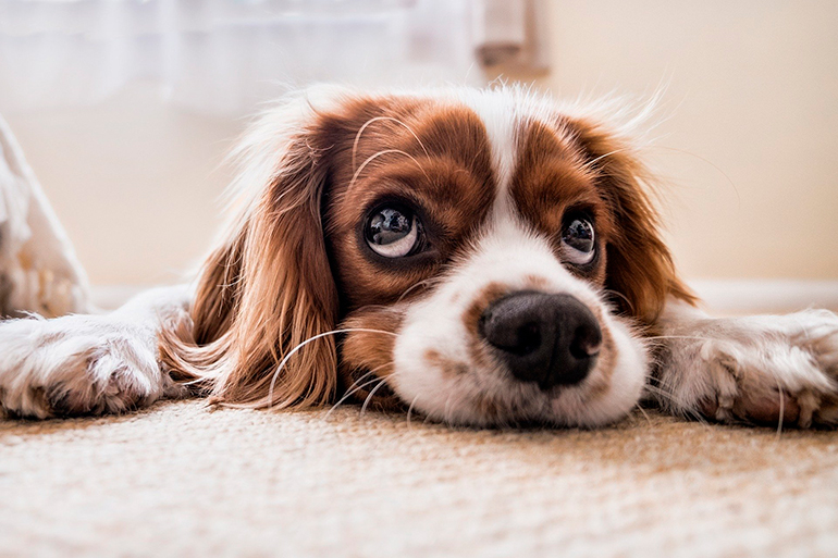 perro-enfermo-descansando-sobre-la-alfombra