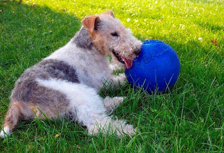 Fox Terrier jugando con su pelota azul
